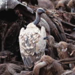 vultures feeding on elephant carcass
